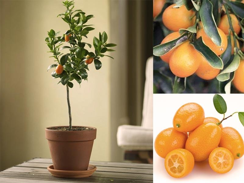 Kumkuat - Citrus fortunella 'margarita'